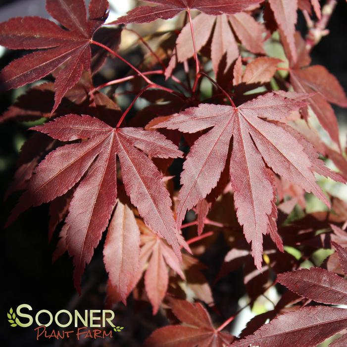 Fireglow Japanese Maple Buy Online Best Prices