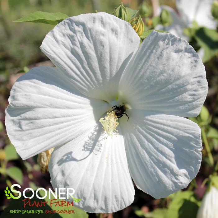 Blue River Il Hardy Hibiscus Buy Online Best Prices