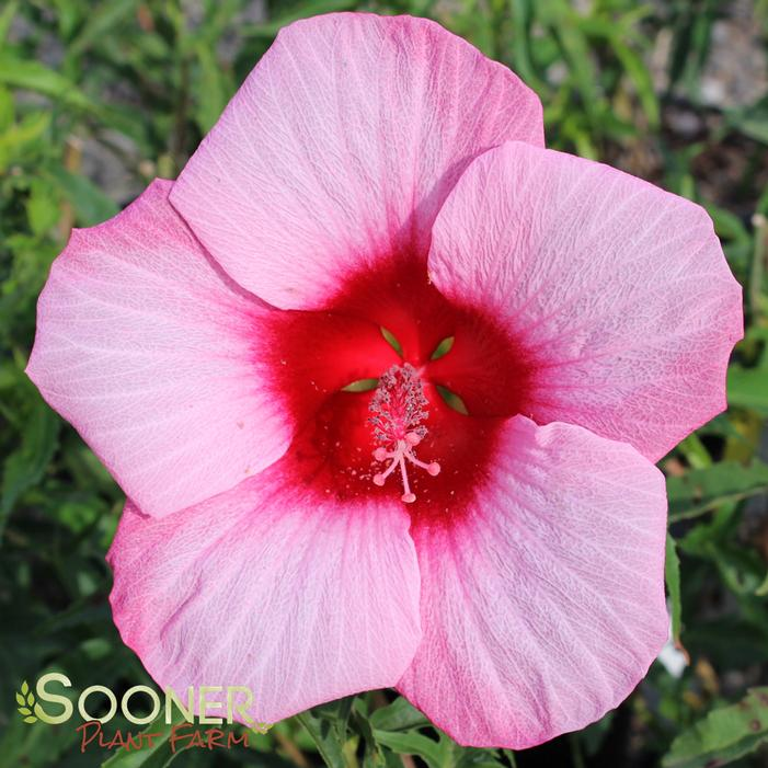 Lady Baltimore Hardy Hibiscus Buy Online Best Prices