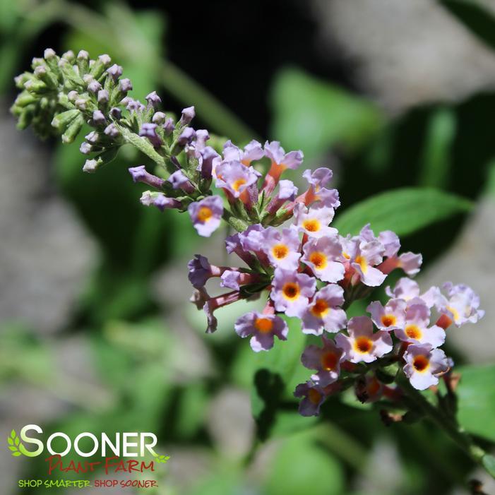 Bi Color Butterfly Bush Buy Online Best Prices