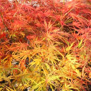 Viridis Japanese Maple Buy Online Best Prices