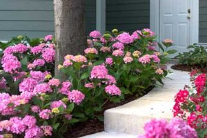 Image 1 Of 3 Hydrangea Macrophylla Robert Let S Dance Moonlight