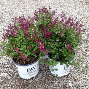 Bloomerang Purple Lilac Buy Online Best Prices