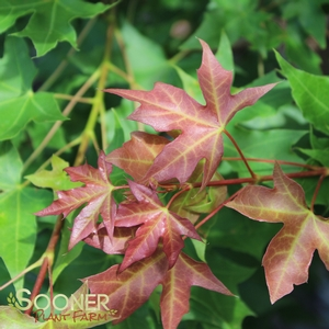 Fire Dragon Shantung Maple Buy Online Best Prices