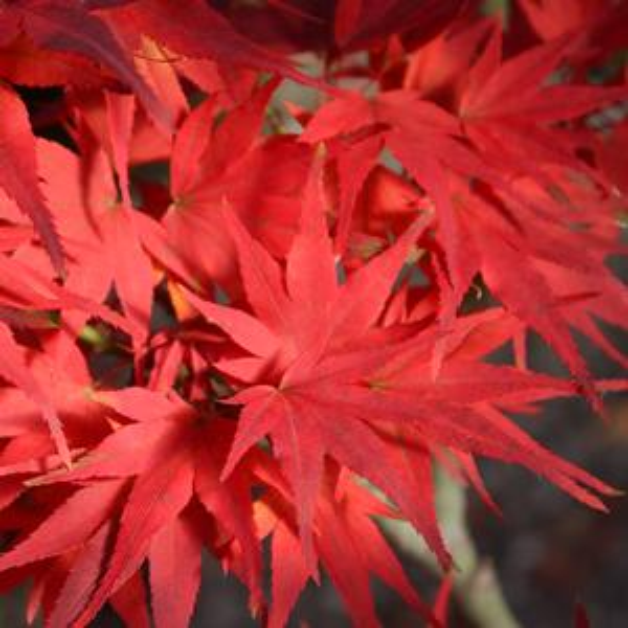 Mikawa Yatsabusa Japanese Maple Buy Online Best Prices