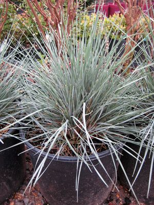 Image 1 Of 2 Helictotrichon Sempervirens Shire Blue Oat Gr