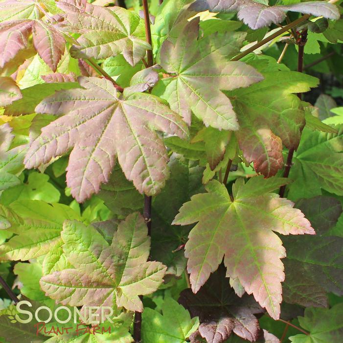 Burgundy Jewel Japanese Maple Buy Online Best Prices