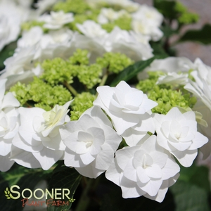 Image 1 Of 2 Hydrangea Macrophylla Dancing Snow WEDDING GOWN HYDRANGEA