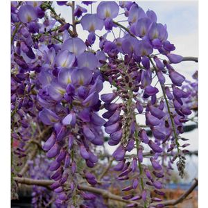 Lavender Falls Wisteria Buy Online Best Prices