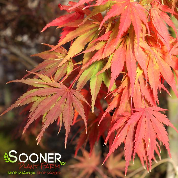 Tiger Rose Japanese Maple Buy Online Best Prices