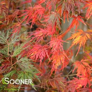 Seiryu Japanese Maple Tree Buy Online Best Prices