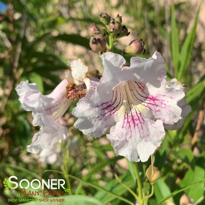 1 Plants 3-4 Feet Long Morning Cloud Chitalpa x Chitalpa tashkentensis /'Morning Cloud/' Ship 3 gal Pot