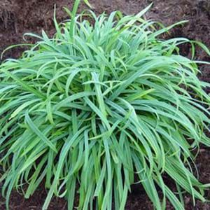 Low growing ornamental grasses available online best prices for Short variegated grass