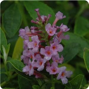 Flutterby Butterfly Bushes Available Online