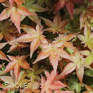 Japanese Maple Trees Sold Onlinebest Prices