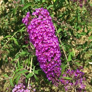 "Buddleia davidii ""Nanho Purple"" Thumbnail"