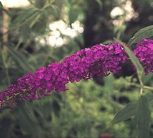 "Buddleia davidii ""Royal Red"" Thumbnail"