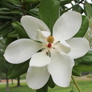 Buy Magnolia Plants Online Direct From Sooner Plant Farm