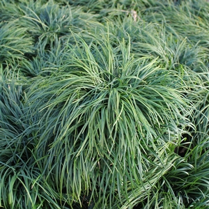 Low Growing Ornamental Grass Low growing ornamental grasses available online best prices ophiopogon japonica thumbnail workwithnaturefo