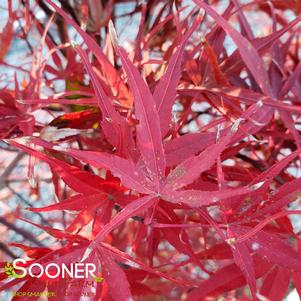 Acer palmatum linearilobum 'BENI OTAKE UPRIGHT JAPANESE MAPLE'
