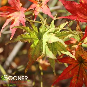 Acer palmatum 'PEACHES AND CREAM UPRIGHT JAPANESE MAPLE'