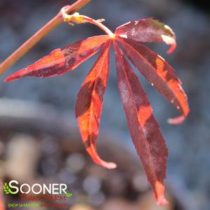 Acer palmatum linearilobum 'RED CLOUD UPRIGHT JAPANESE MAPLE'