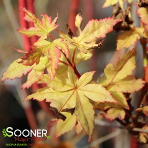 Acer palmatum matsumurae 'WINTER FLAME UPRIGHT JAPANESE MAPLE'