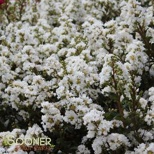 Lagerstroemia indica 'WHITE CHOCOLATE CRAPEMYRTLE'