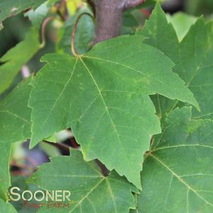 Acer rubrum 'RED ROCKET MAPLE'
