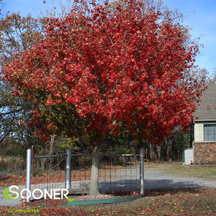 Acer truncatum 'FIRE DRAGON® SHANTUNG MAPLE'