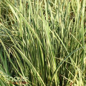 GRASS SWEET FLAG VARIEGATED