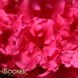 BLOOM-A-THON® RED REBLOOMING AZALEA