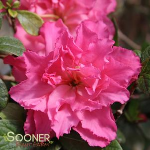 BLOOM-A-THON® PINK DOUBLE REBLOOMING AZALEA