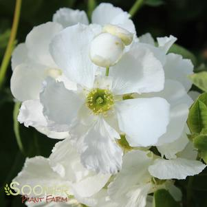Exochorda x 'SNOW DAY® BLIZZARD PEARL BUSH'
