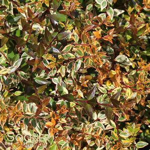 Abelia x grandiflora 'TWIST OF ORANGE™ ABELIA'