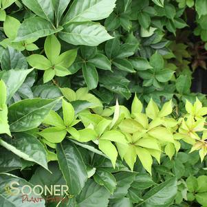 Parthenocissus quinquefolia 'YELLOW WALL VIRGINIA CREEPER'