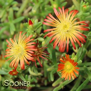 Delosperma cooperi 'WHEELS OF WONDER™ FIRE WONDER ICE PLANT'