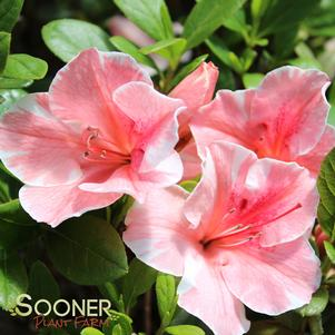 AUTUMN SUNBURST™ ENCORE® AZALEA