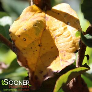 Parrotia persica 'GOLDEN BELLTOWER&#8482 IRONWOOD'