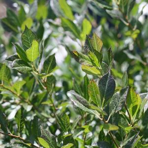 Ilex verticillata 'LITTLE GOBLIN® GUY WINTERBERRY HOLLY'