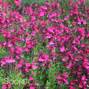Salvia greggii 'PINK PREFERENCE AUTUMN SAGE'