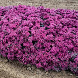 Sedum x 'ROCK 'N ROUND™ SUPERSTAR SEDUM'
