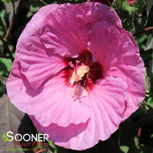 Hibiscus x 'SUMMERIFIC® BERRY AWESOME HARDY HIBISCUS'