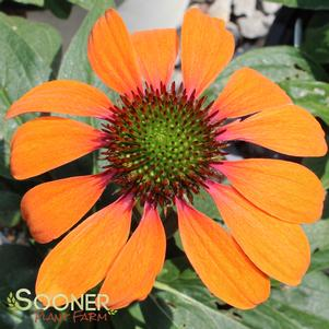 Echinacea x 'COLOR CODED® ORANGE YOU AWESOME CONEFLOWER'