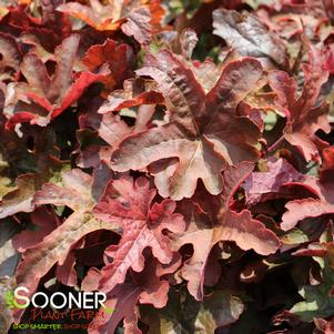 Heucherella x 'FUN AND GAMES® RED ROVER FOAMY BELLS'