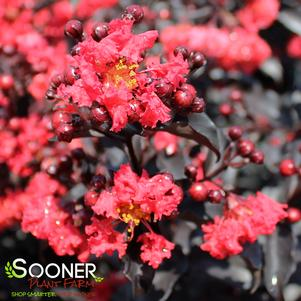 Lagerstroemia x 'CENTER STAGE™ RED CRAPEMYRTLE'
