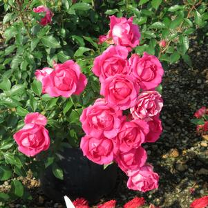 Rosa x 'THE CHAMPION™ PINK ROSE'
