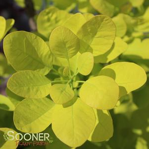 SMOKETREE 'GOLDEN SPIRIT'