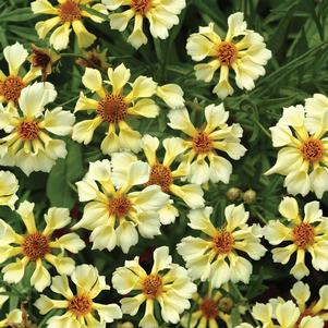 Coreopsis x 'PIN WHEEL TICKSEED'
