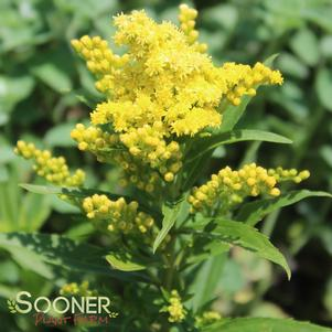 Solidago x 'LITTLE LEMON GOLDENROD'